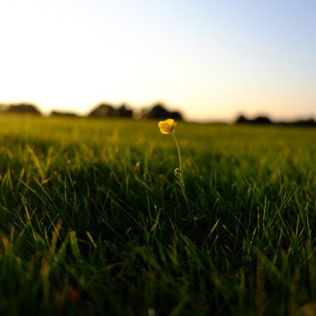 """Buttercup at sundown"" stock image"