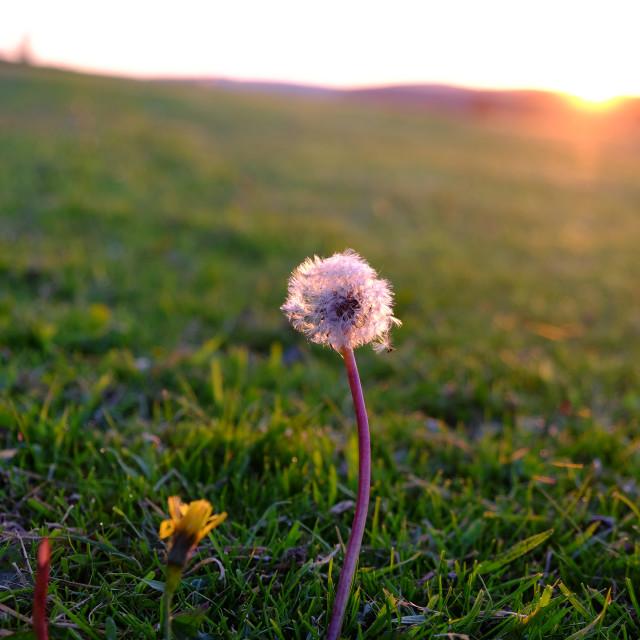 """Dandelion at dawn"" stock image"