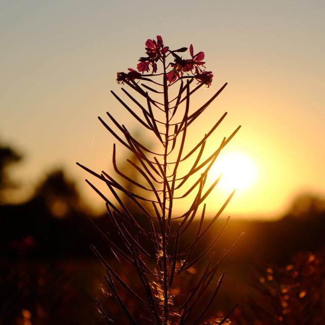 """""""Rosebay Willowherb at dusk"""" stock image"""