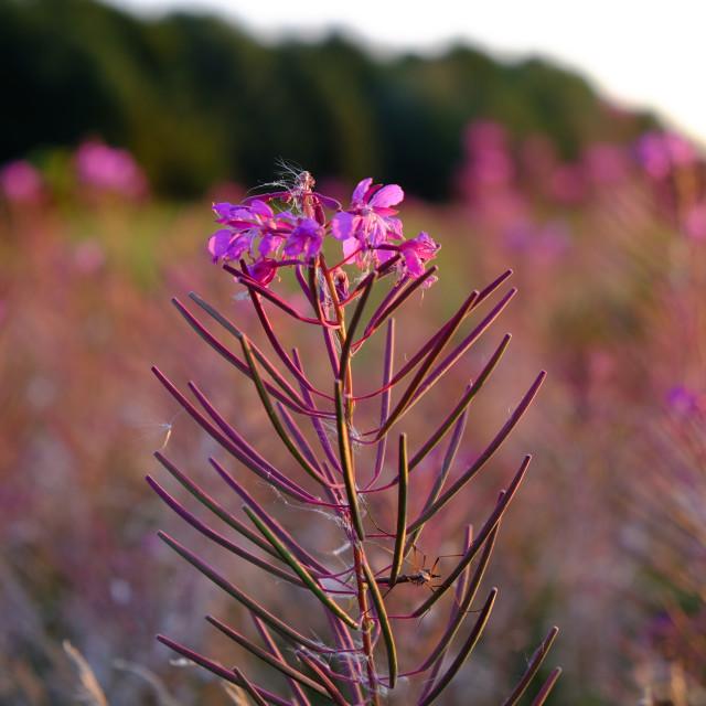 """""""Rosebay willowherb flower"""" stock image"""