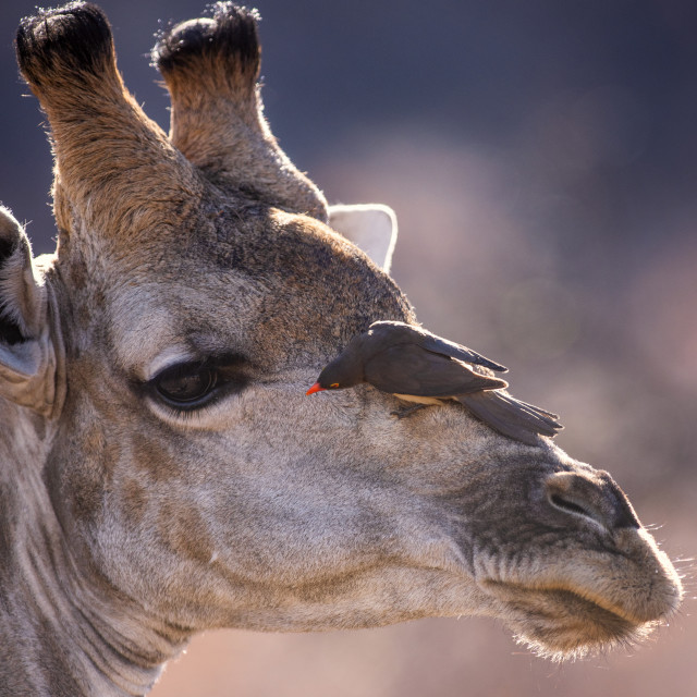 """Giraffe with oxpecker"" stock image"