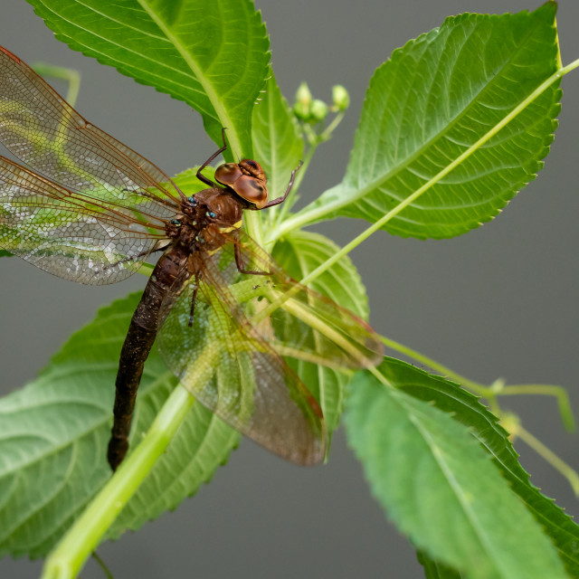"""""""Brown dragonfly on a plant. Large dragonfly with transparent win"""" stock image"""