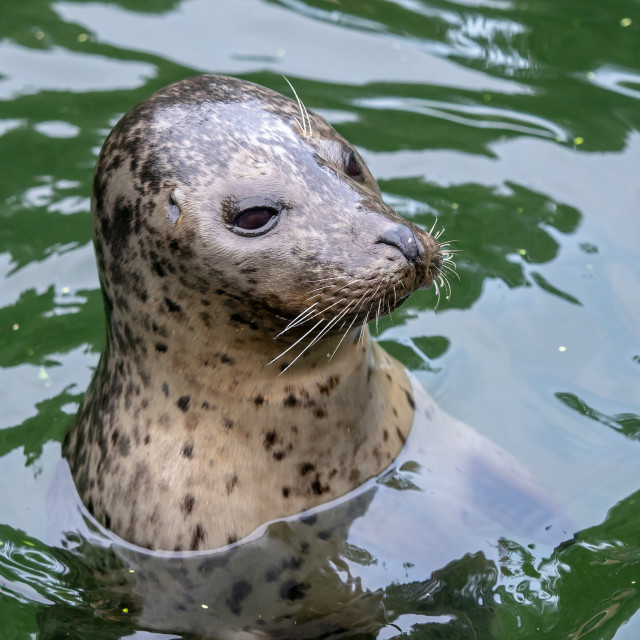 """""""Harbor Seal (Phoca vitulina) with his head above green water"""" stock image"""