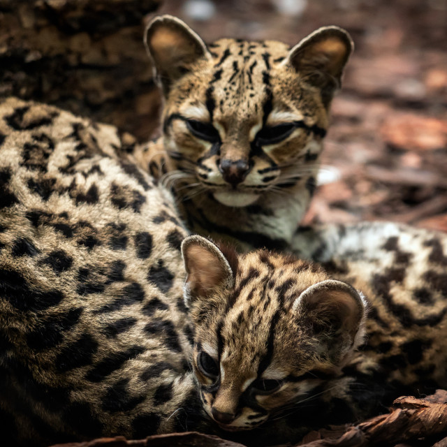 """""""Margay, Leopardus wiedii, female with baby. Margay cats pair of"""" stock image"""