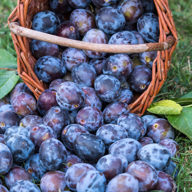 """""""Plum harvest. Plums in a wicker basket on the grass. Harvesting"""" stock image"""