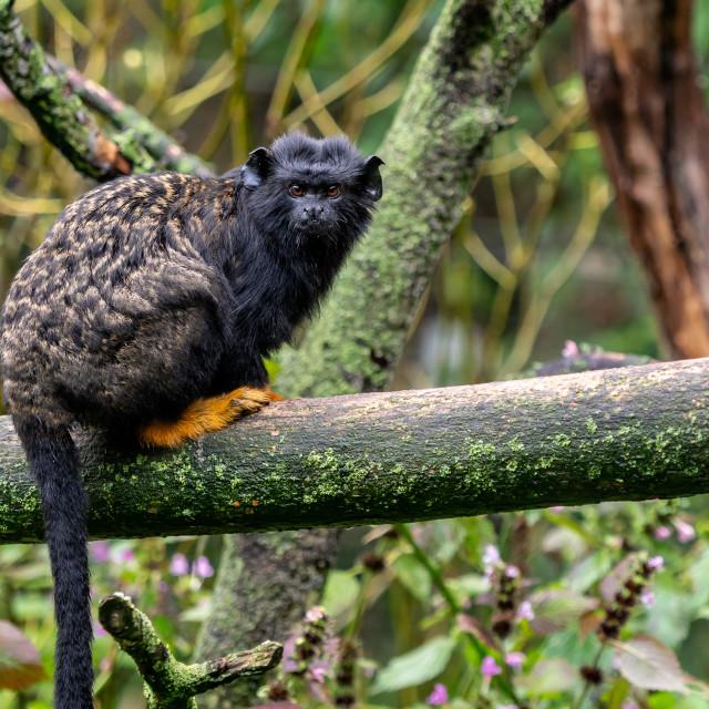 """Golden handed Tamarin. Tamarin Saguinus midas sitting on branch."" stock image"