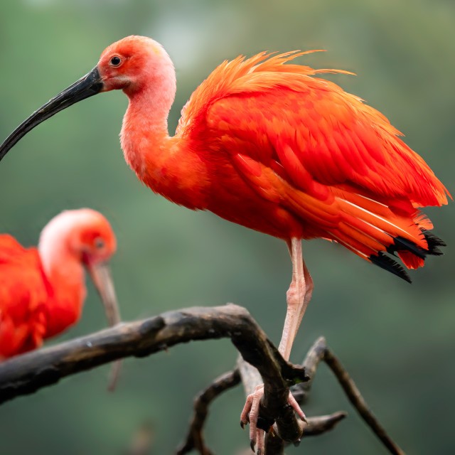 """""""Eudocimus ruber on tree branch. Four bright red birds Scarlet Ib"""" stock image"""