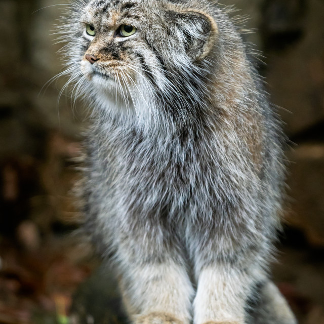"""""""Manul or Pallas's cat, Otocolobus manul, cute wild cat from Asia"""" stock image"""