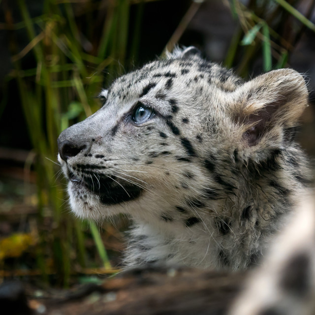 """""""Baby snow leopard (Panthera uncia). Young snow leopard."""" stock image"""