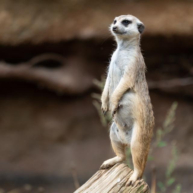 """Suricata standing on a guard. Curious meerkat (Suricata suricatt"" stock image"