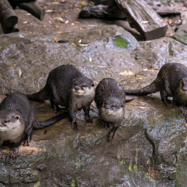 """""""Group of oriental small-clawed otter (Amblonyx cinereus), also k"""" stock image"""