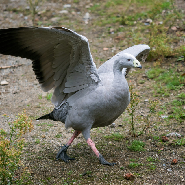 """""""Cape Barren Goose with wings outstretched, Cereopsis novaehollan"""" stock image"""