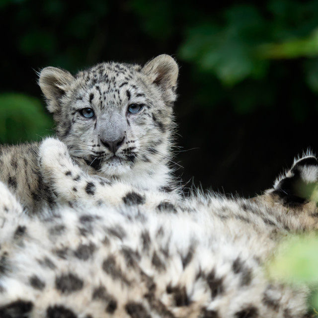 """""""Snow leopard cub (Panthera uncia). Young snow leopard."""" stock image"""