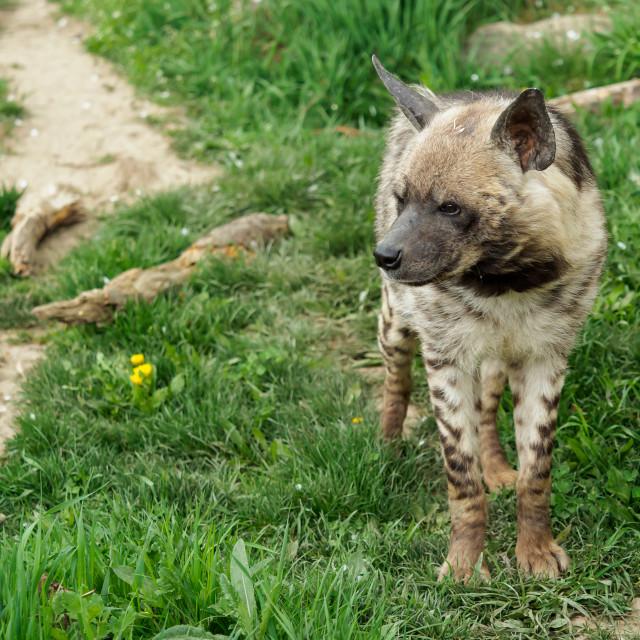 """Striped hyena (Hyaena hyaena sultana)"" stock image"
