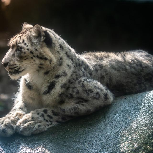 """Snow leopard - Irbis (Panthera uncia)."" stock image"
