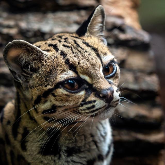 """Margay, Leopardis wiedii"" stock image"
