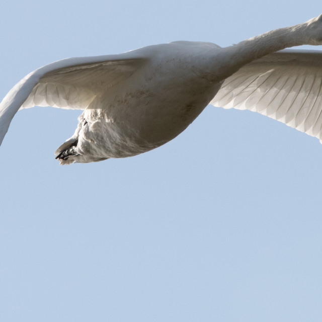 """""""A Mute Swan"""" stock image"""