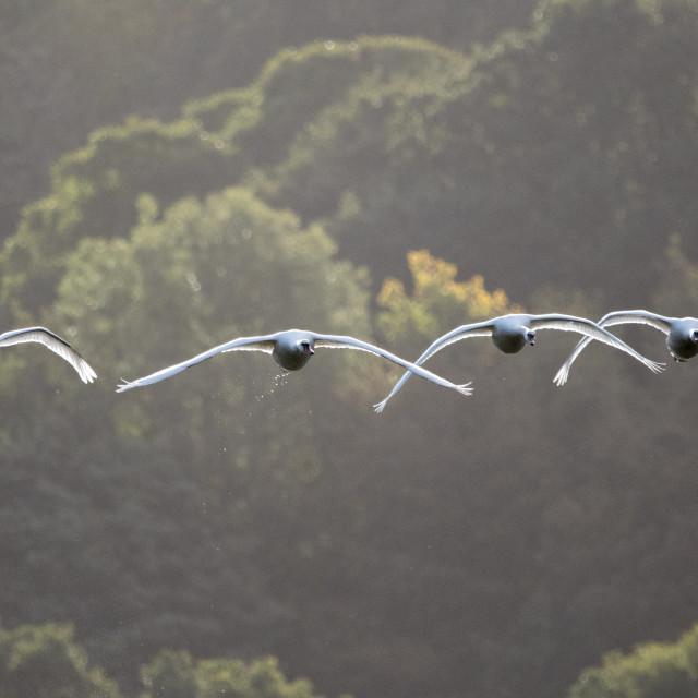 """Flight of Mute Swans"" stock image"