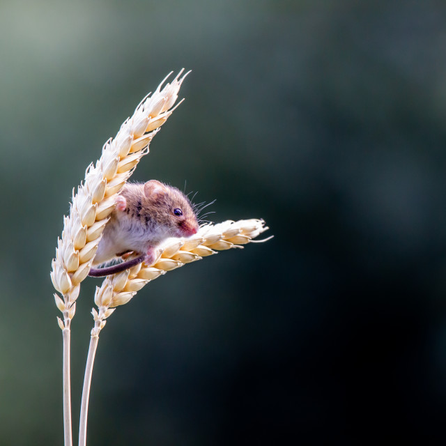 """Harvest Mouse."" stock image"