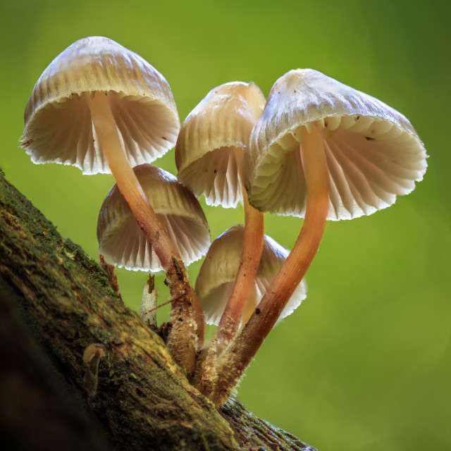 """Cluster of Summer Bonnets (Mycena Abramsii)"" stock image"
