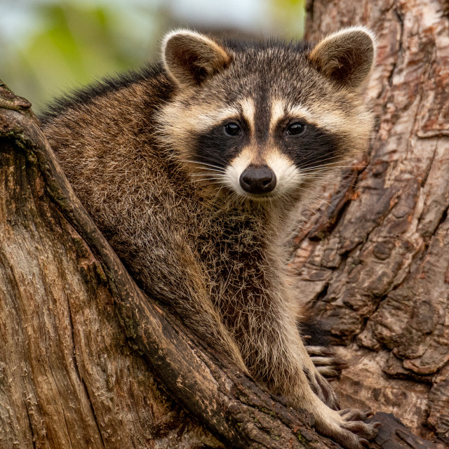 """Raccoon Poses for the Camera"" stock image"