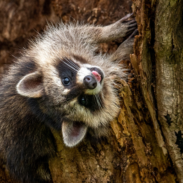 """Comical Raccoon"" stock image"