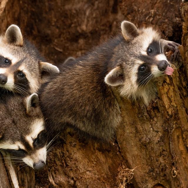 """""""Raccoon Playtime"""" stock image"""