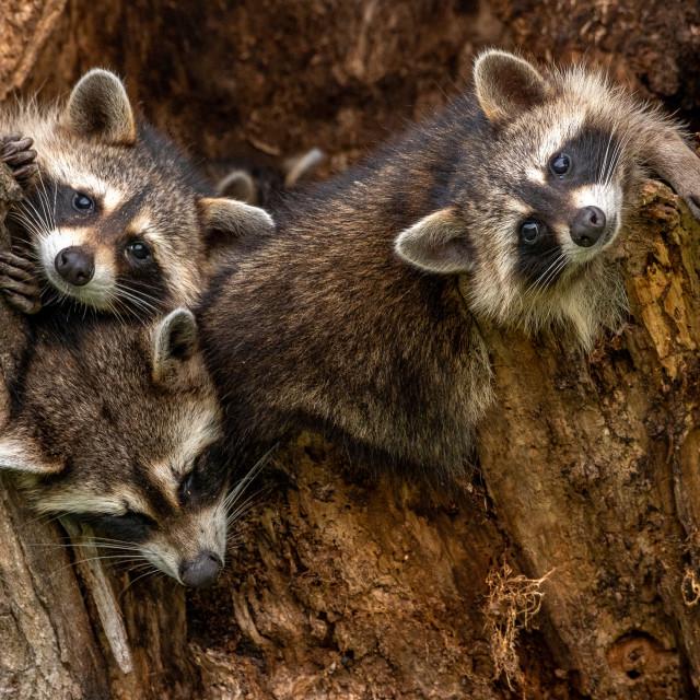 """Raccoon Kits Repose"" stock image"