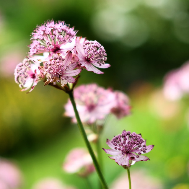 """Astrantia Flower"" stock image"