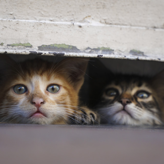 """Little kittens are hiding at the pavement in a safe place"" stock image"