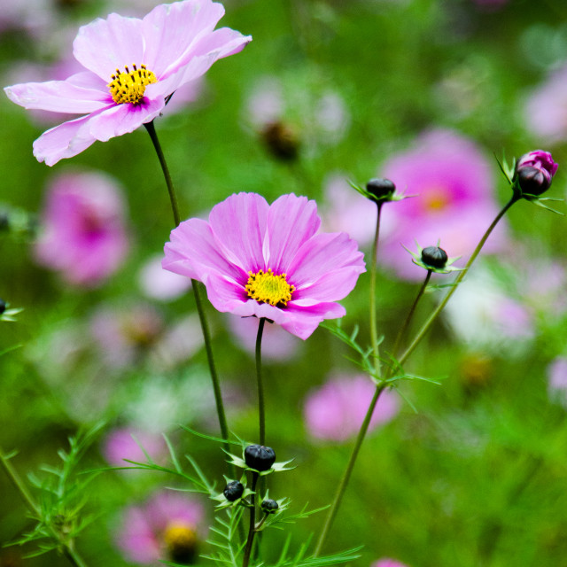 """Pink cosmos flowers"" stock image"