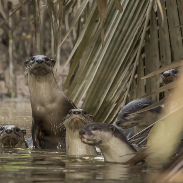 """Otters of Borneo"" stock image"