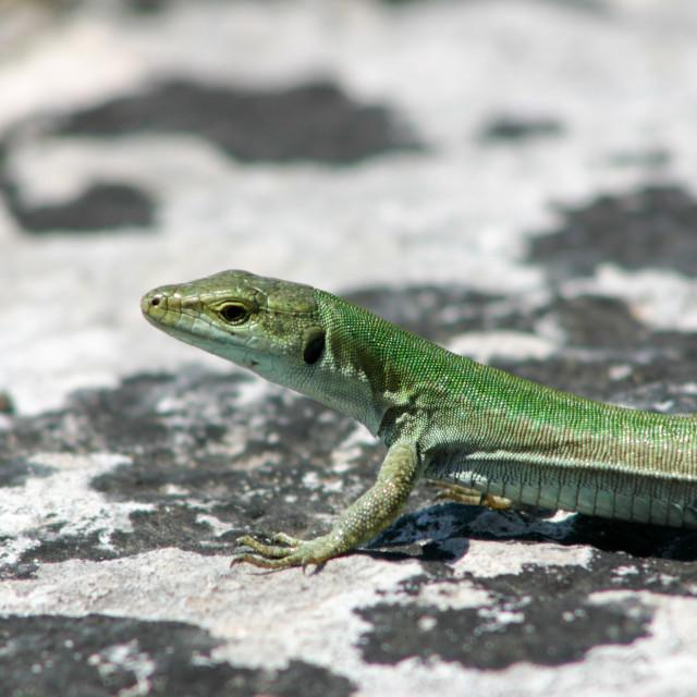 """Sicilian Wall Lizard on a Rock"" stock image"
