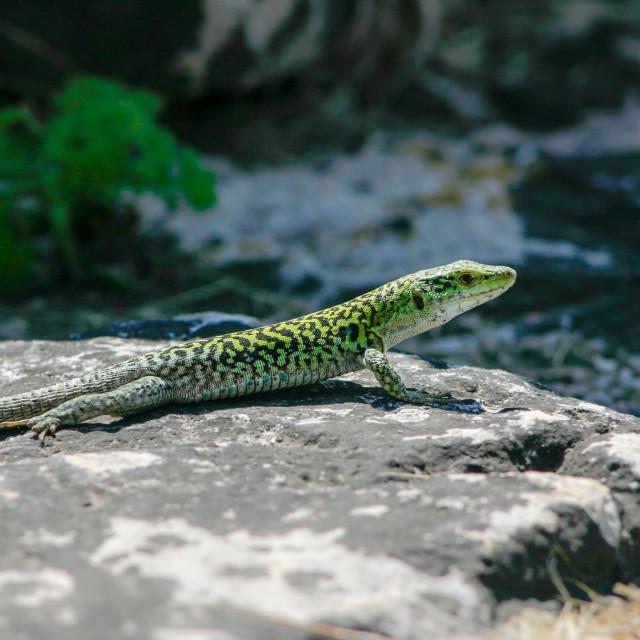 """Sicilian Wall Lizard"" stock image"