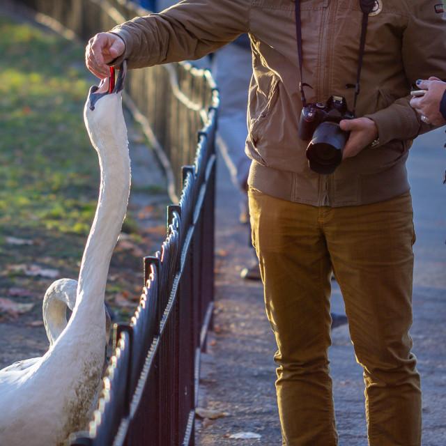 """""""Feeding Swans"""" stock image"""