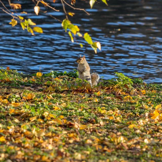 """Squirrel in Autumn Leaves"" stock image"