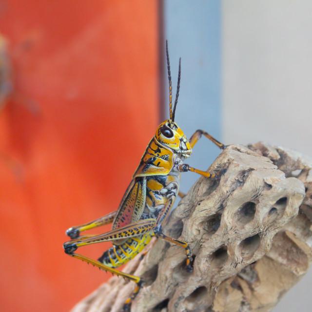 """""""Eastern Lubber Grasshopper"""" stock image"""