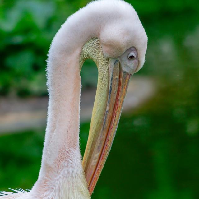 """Great White Pelican"" stock image"