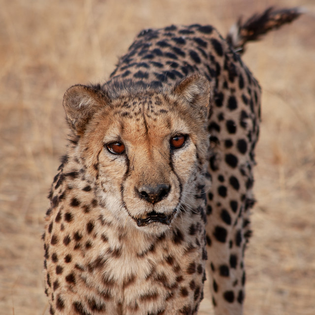 """""""Portrait of a cheetah in Namibia"""" stock image"""