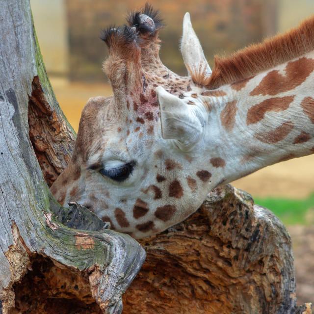 """Giraffes at a zoo"" stock image"