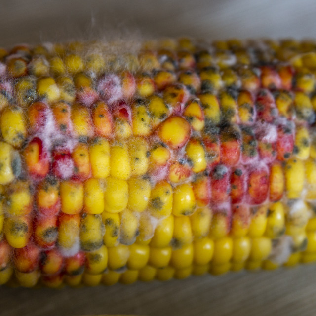 """close up on rotten corn on the table"" stock image"