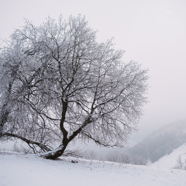 """close up on froze tree in the mountain, winter background"" stock image"