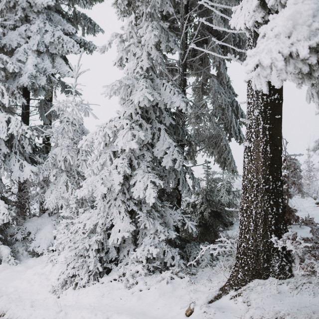"""snow and ice in the forest, winter background"" stock image"