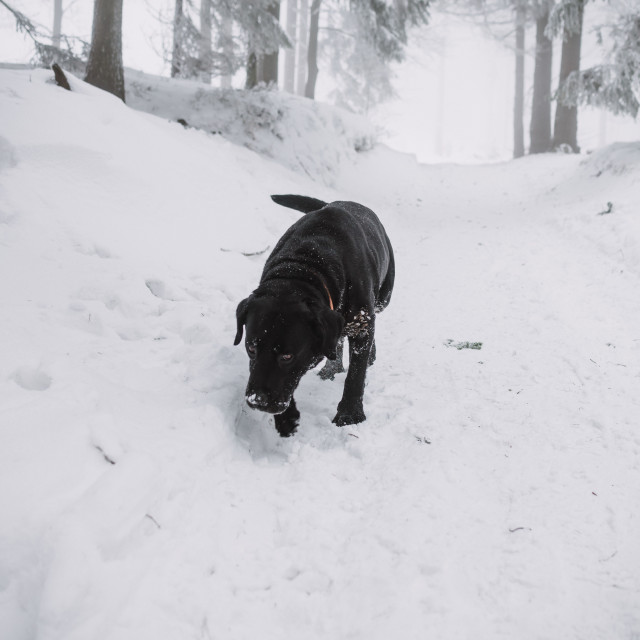 """black Labrador dog in the snow in forest"" stock image"