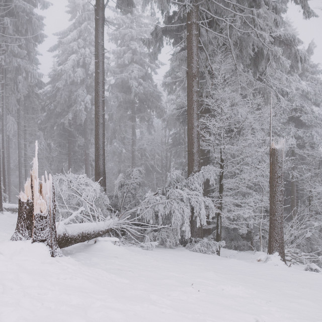 """broken tree in the forest, winter and snow"" stock image"