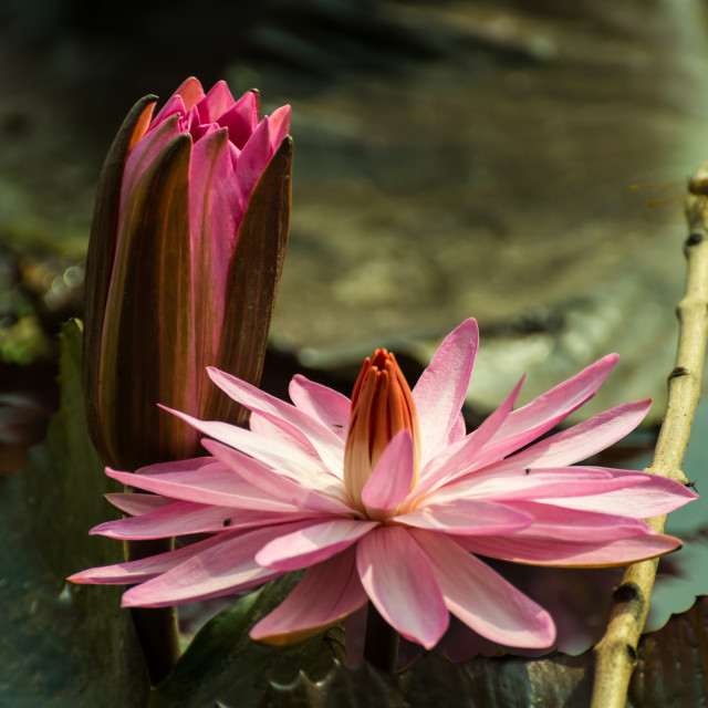 """Water lily"" stock image"
