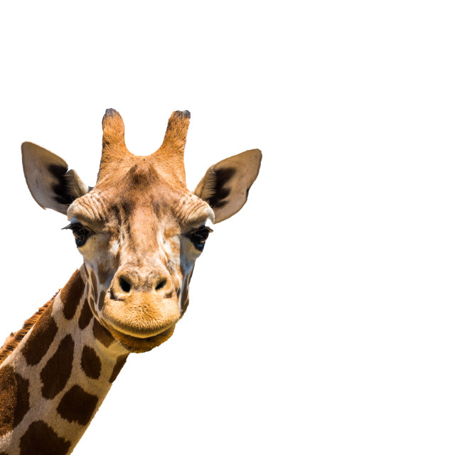 """Giraffe head isolated on white background"" stock image"
