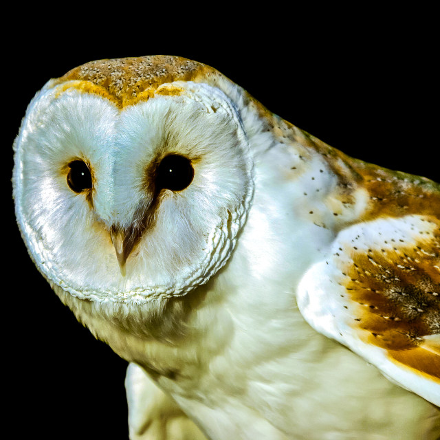 """""""Barn Owl looking to the left"""" stock image"""