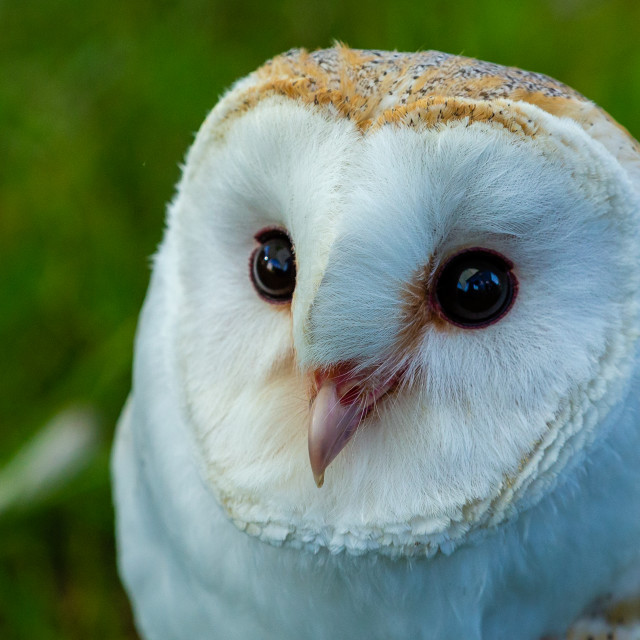 """""""The beauty of a Barn Owl's face"""" stock image"""