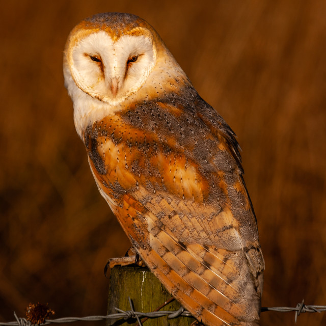 """""""A Barn Owl sat on a fence post"""" stock image"""